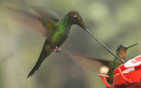 Sword-billed_Hummingbird_(Ensifera_ensifera).jpg